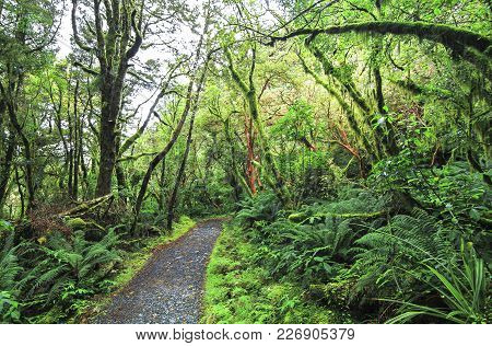 Dense Temperate Rainforest Surrounds The Trail To Key Summit In Fiordland, New Zealand.