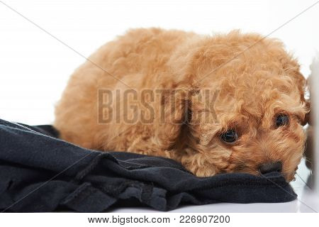 Lonely One Poodle Puppy Laying On Black Cloth