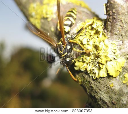 A Wasp On A Tree Branch. Hymenoptera Insect
