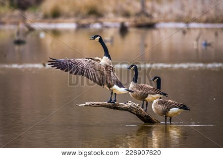 A Horizontal Photo Of Three Canadian Geese On A Brown Branch Coming Out Of A Pond With One Flapping