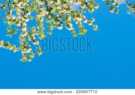 Branch With White Blooming Apple Flowers On The Background Of The Clear Blue Sky Under Bright Sunlig