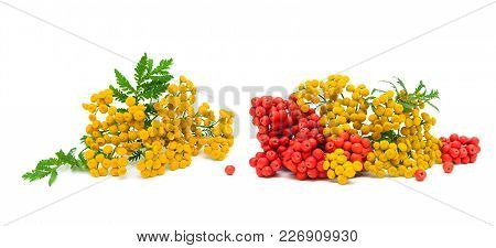 Flowers Tansy And Berries Rowan On A White Background. Horizontal Photo.