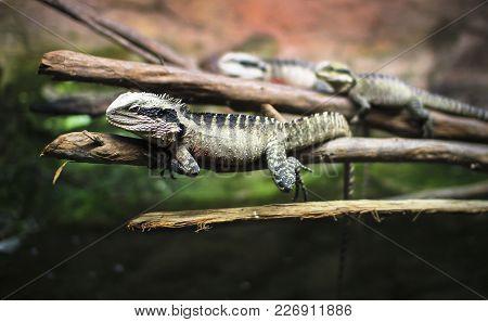 An Australian Water Dragon (intellagama Lesueurii) Resting On A Branch At The National Aquarium In N