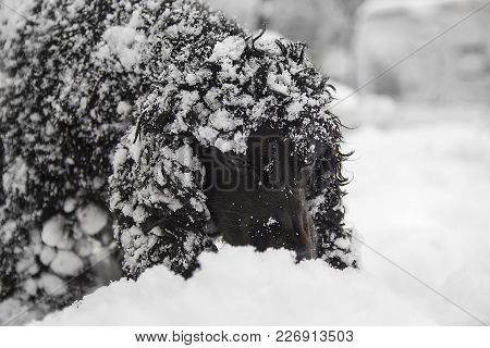 Beautiful Black Young Cocker Spaniel,dog Playing In The Snow On A Winter Day