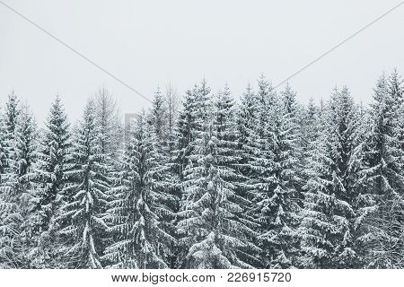 Pines Trees Covered With Snow In Nature