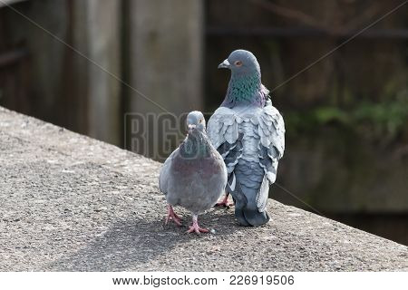 Two Pigeons Stood Together Facing Right On A Concrete Path