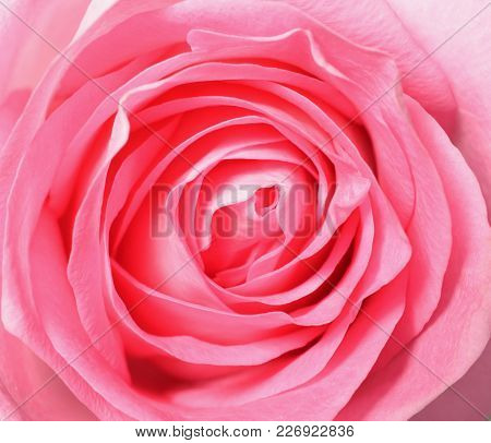 Pink Rose, Top View Closeup Photo Image Of Single Pink Rose Flower Present A Detail Of Flower Petal