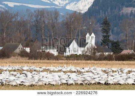 Snow Geese Feeding In Skagit Valley, Wa With Church In The Background