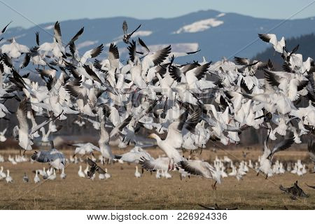 Snow Geese Flying Over Skagit Valley, Wa