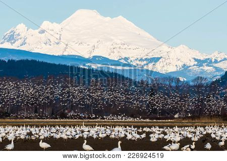 Snow Geese Feeding During Their Annual Migration In Skagit Valley, Wa