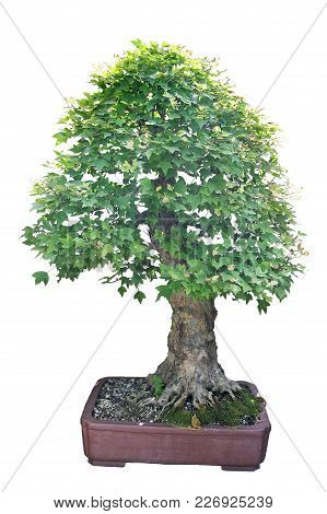 Trident Maple, Japanese Species This Tree Has Been Worked For 17 Years From A Pre-bonsai From Japan