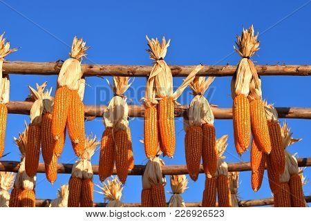 Dried Corn, Photo Of Corncob That A Farmer Hanging On Wood Bar For Dried It By A Sunlight With Blue