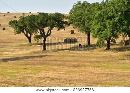 Stunning Landscape With A Harvested Wheat Field And Rolled Straw Stacks Between Cork Oak Trees At Su
