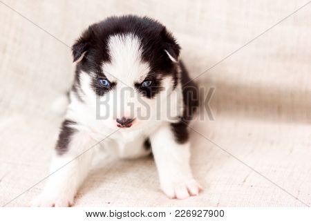 Cute Siberian Husky Puppy Black And White In Hands, With Blue Eyes