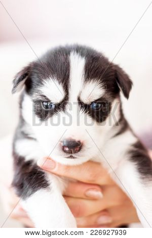 Cute Siberian Husky Puppy Black And White In Hands, With Different Eyes Brown And Blue