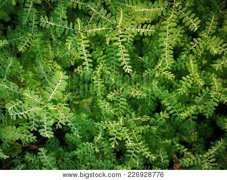 Phyllanthus Amarus (seed-under-leaf, Egg Woman, Tamalaki, Hazardana, Stonebreaker) ; Showing Greenis