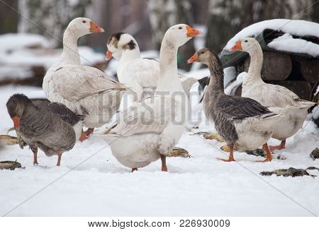 Geese In The Winter Nature . In The Park In Nature