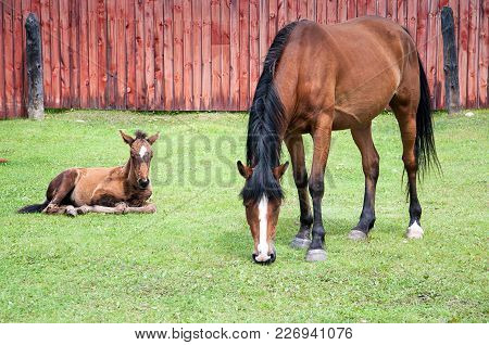 Brown Horse Is Eating Grass Near Old Wooden Fence With Brown Foal