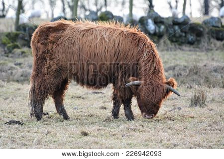 A Highland Cattle Feeding Taken In Scotland