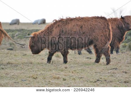 Highland Cattle On The Move Slowly Taken In Scotland