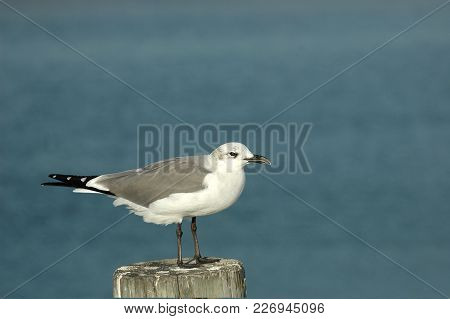 A Sea Gull Perched On A Peir In The Gulf Of Mexico, With Blue Water As The Background.