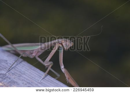 A Light Green And Brown Mantis With A Dark Green Background.