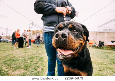 Funny Young Black Rottweiler Metzgerhund Standing Near Woman In Green Grass.