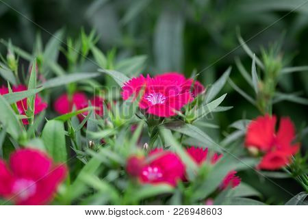 Macro Shot Of Snowfire, China Doll, China Pink Flower, Pink Dianthus Flowers (dianthus Chinensis)  G