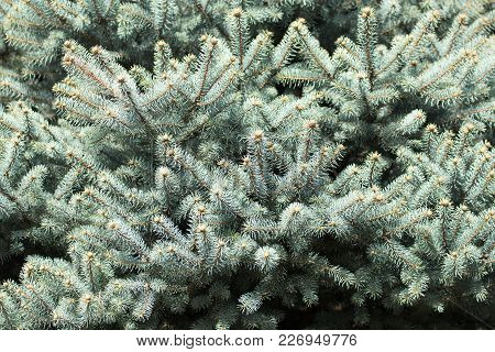 Beautiful Green Coniferous Tree In Nature . In The Park In Nature