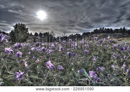 A Field Abundant With Flowers (solanum Elaeagnifolium) At The Middle Of Summer Days With Beautiful S