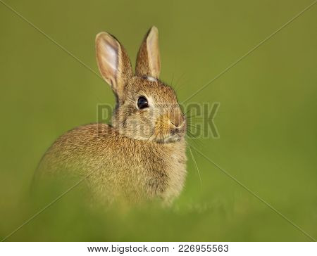 Portrait Of A Young Little Rabbit In The Meadow, London, Uk. Urban Wildlife.