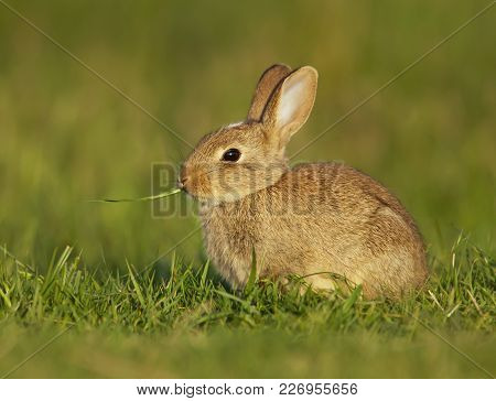 Portrait Of An European Baby Rabbit Eating The Blade Of Grass, Spring In London.