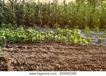Organic Green Mixed Growing Vegetable Garden Background