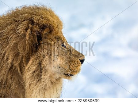 Lion, Panthera Leo, Lion Portrait On Bright, Soft Background, The Lion Is Looking To The Right. Old
