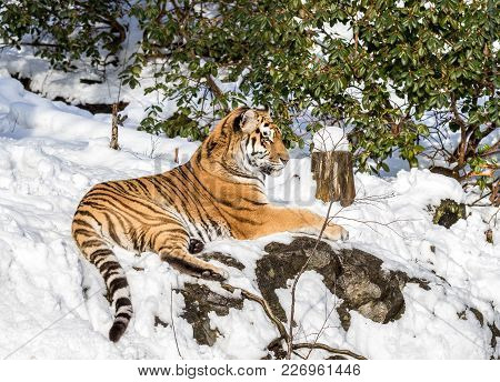 Siberian Tiger, Panthera Tigris Altaica, Resting In The Forest In Winter. Snow On The Ground, Green