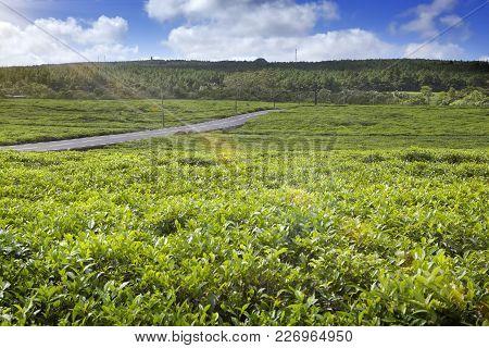 The Road Through Tea Plantations On Mauritius