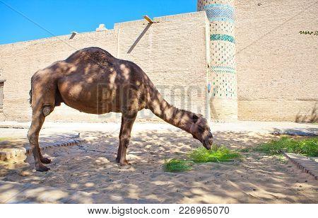 camel near ancient city wall. Uzbekistan. Khiva.