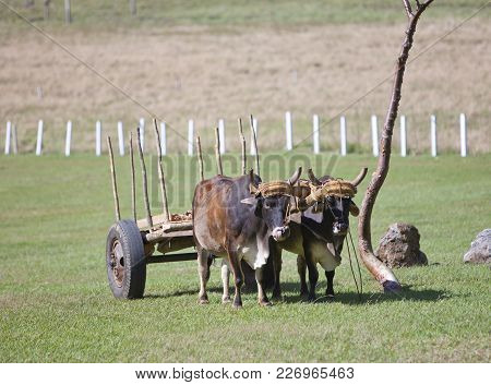 Cuba. Team Of Oxen In The Field