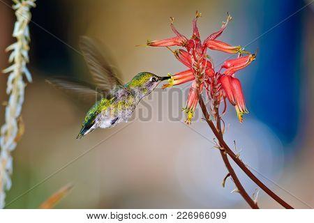 A Female Anna Hummingbird Native To Arizona Feeding On Aloe Flowers.