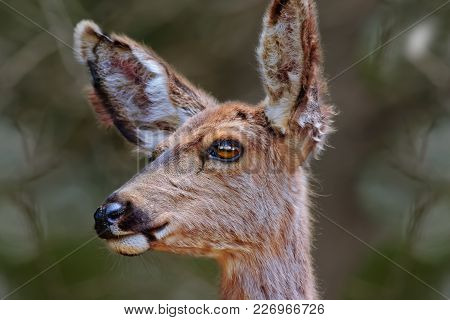 A Portrait Photo Of A Female Mule Deer Captured In The Kaibab Forest Of Northern Arizona.