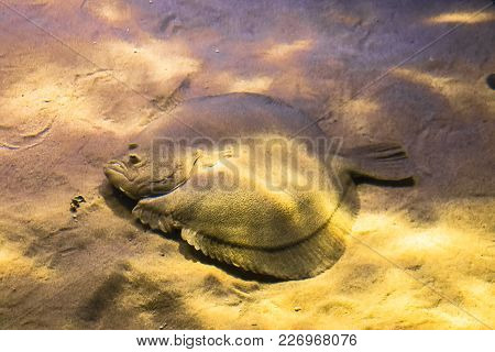 Flat Sea Fish Flounder In The Sand And In The Flicker Of Light.