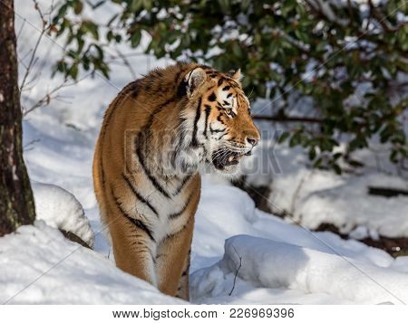 Siberian Tiger, Panthera Tigris Altaica, Walking In The Forest In Winter. Snow On The Ground, Tree A