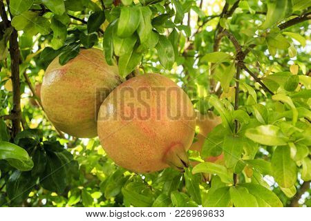 Pomegranate Fruit (punica Granatum) Ready To Be Picked On A Tree With Leaves Which Are Opposite Or S