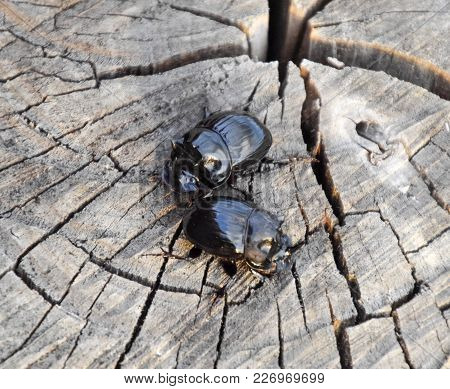 A Rhinoceros Beetle On A Cut Of A Tree Stump. A Pair Of Rhinoceros Beetles.