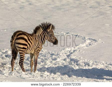 Zebra Foal Standing Alone Outdoors In The Snow In Dyreparken, Kristiansand Zoo