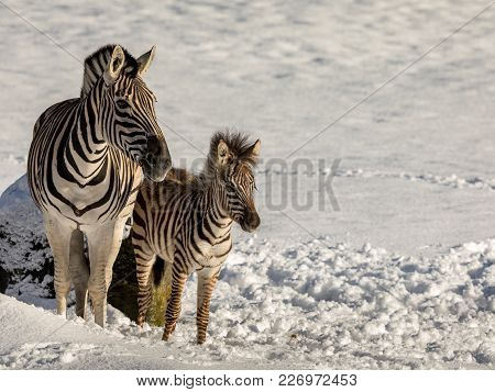 Zebra Mother And Foal Standing Outdoors In The Snow In Dyreparken, Kristiansand Zoo In Norway