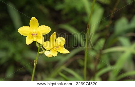 Image Of A Beautiful Yellow Orchid Flowers (spathoglottis Affinis De Vriese) In The Park ,thailand.