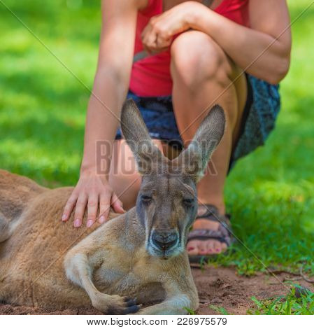 Unrecognizable Woman Petting A Sleepy Kangaroo In Wildlife Nature Reserve.