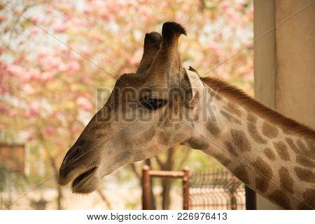 Closeup Head Shot Giraffe  On Nature Background