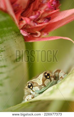 Macro Of Mission Golden-eyed Tree Frog. Amazonian Rainforest Animal.